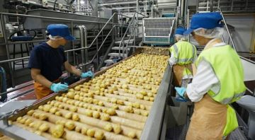 industrial processing in potato plants with machines