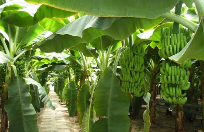 Nigeria plantain planting and deep-processing