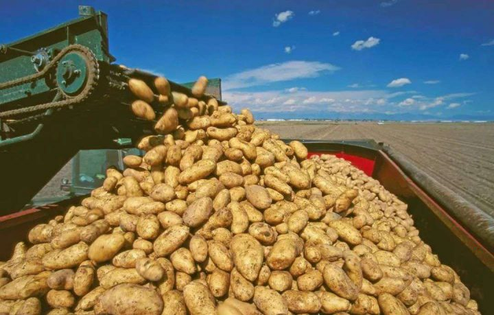 harvesting of potatoes for making french fries