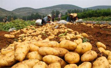 potato plantation of the world