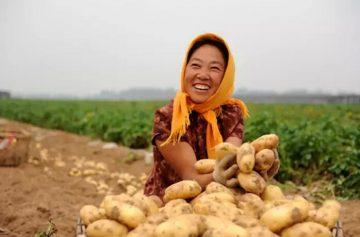 potato planting and harvesting