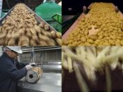 frozen french fries making process in plant