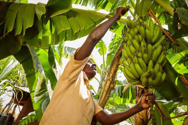banana plantation in Zimbabwe