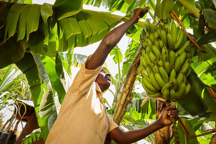 banana plantation in Zimbabwe